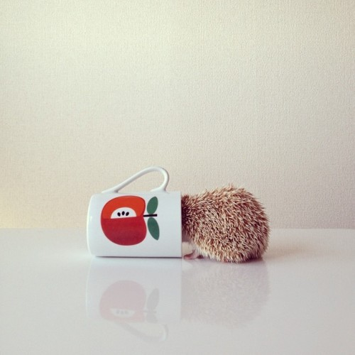 Shota Tsukamoto Darcy The-cute-little-hedgehog 4