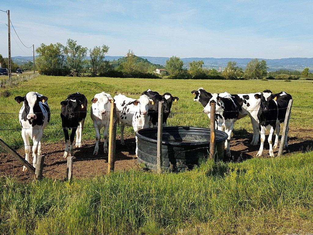 Vaches de la Loire