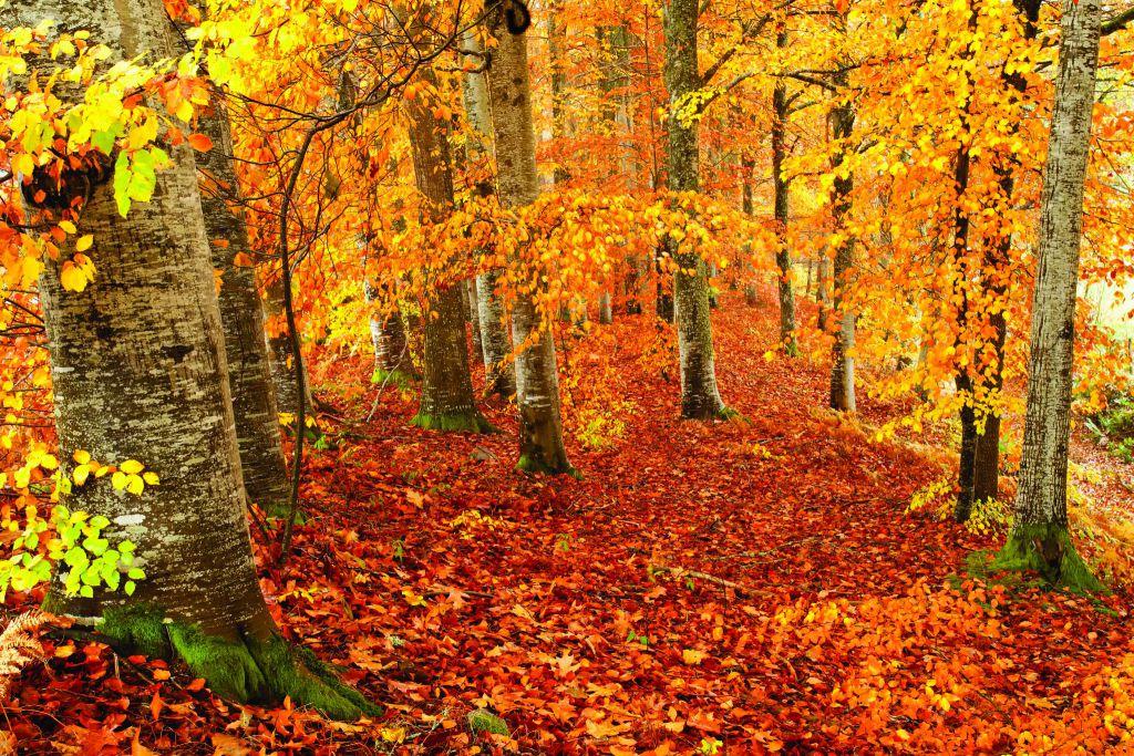 Forêt Auvergne SCHNEIDER_Beechwood_in_autumn_scenery