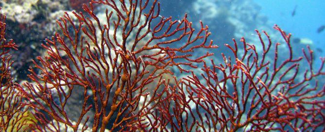 Matt Kieffer Red gorgonian fan coral on Lekuan Reef